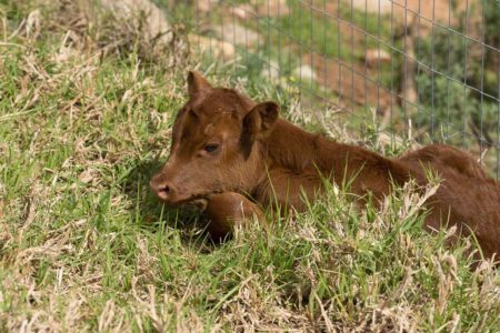Red Dexter calf, Chard, 2 days old
